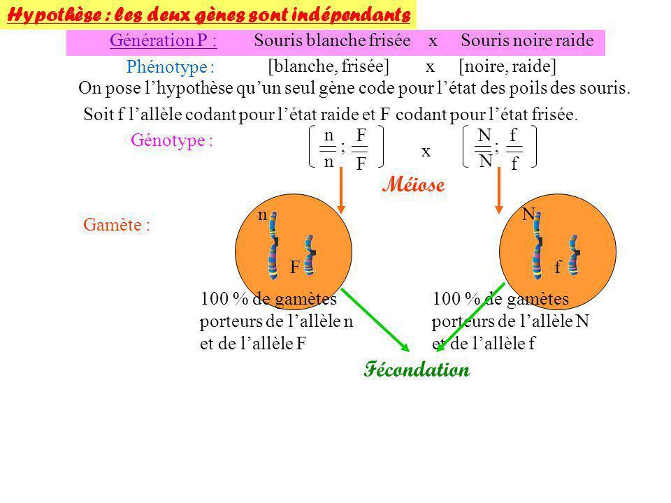 Souris F1 x Souris blanche raide Phénotype : [noire frisée] x [blanche raide] Génotype : n N F f n n f f x Méiose x% de gamète (n,F) x% de gamète (N,f) 100% de gamète (n,f) Fécondation Génération F2 : Phénotypes parentaux On a bien une majorité et en égales proportions (40 et 42) de ces phénotypes parentaux.