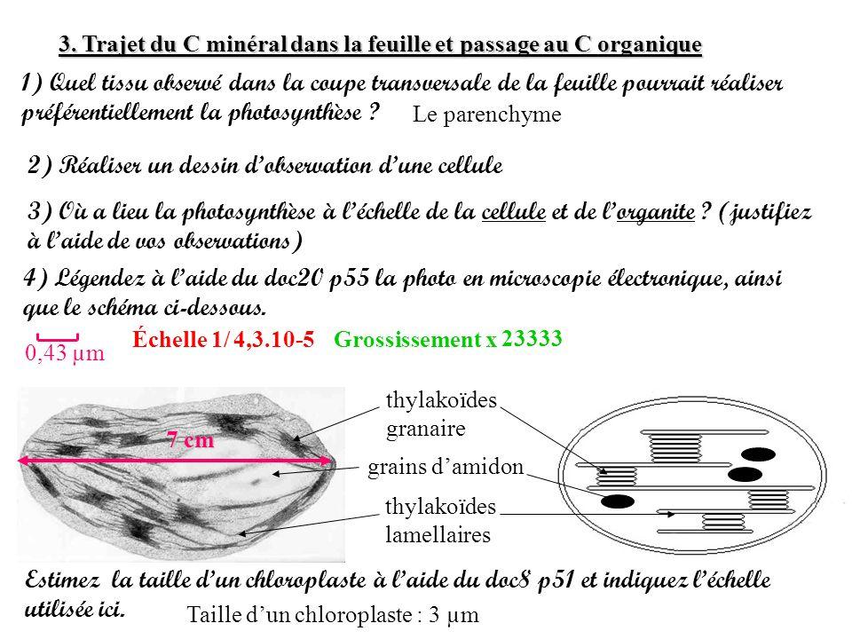 3. Trajet du C minéral dans la feuille et passage au C organique 1) Quel tissu observé dans la coupe transversale de la feuille pourrait réaliser préf