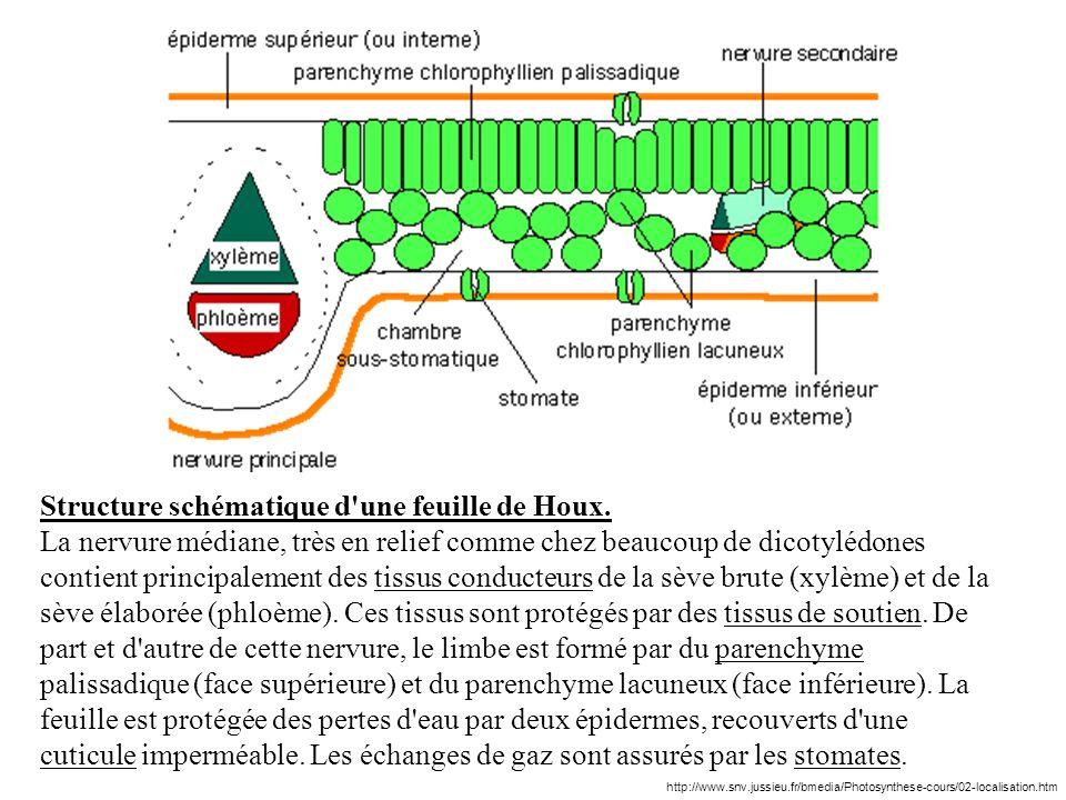 Structure schématique d une feuille de Houx.