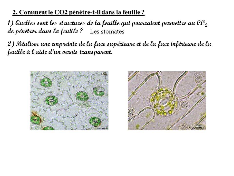 2.Comment le CO2 pénètre-t-il dans la feuille .