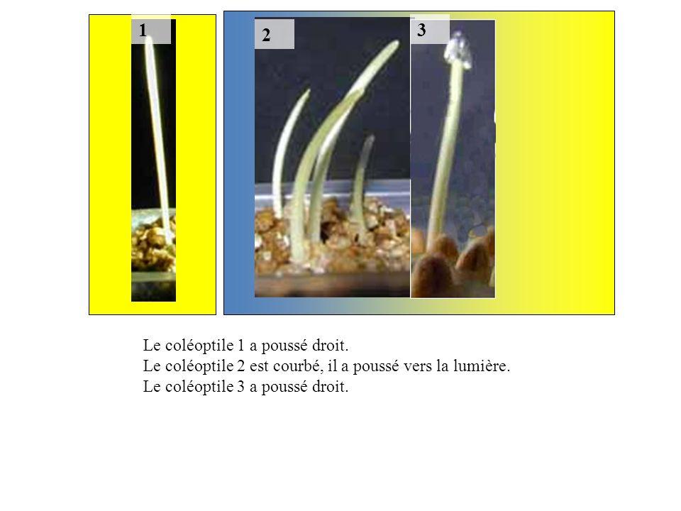 1 2 3 Le coléoptile 1 a poussé droit. Le coléoptile 2 est courbé, il a poussé vers la lumière. Le coléoptile 3 a poussé droit.