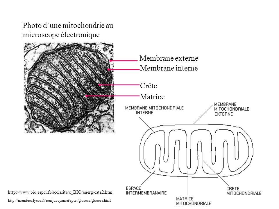 Photo dune mitochondrie au microscope électronique http://membres.lycos.fr/renejacquemet/sport/glucose/glucose.html Membrane externe Membrane interne