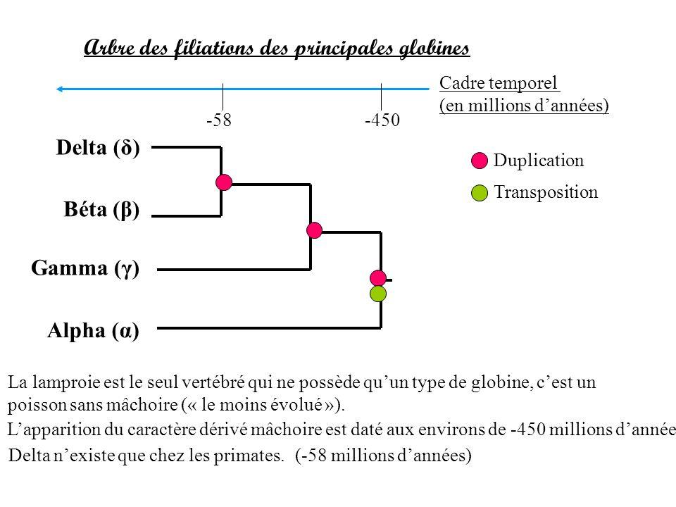 Delta (δ) Béta (β) Gamma (γ) Alpha (α) Arbre des filiations des principales globines Duplication Transposition La lamproie est le seul vertébré qui ne