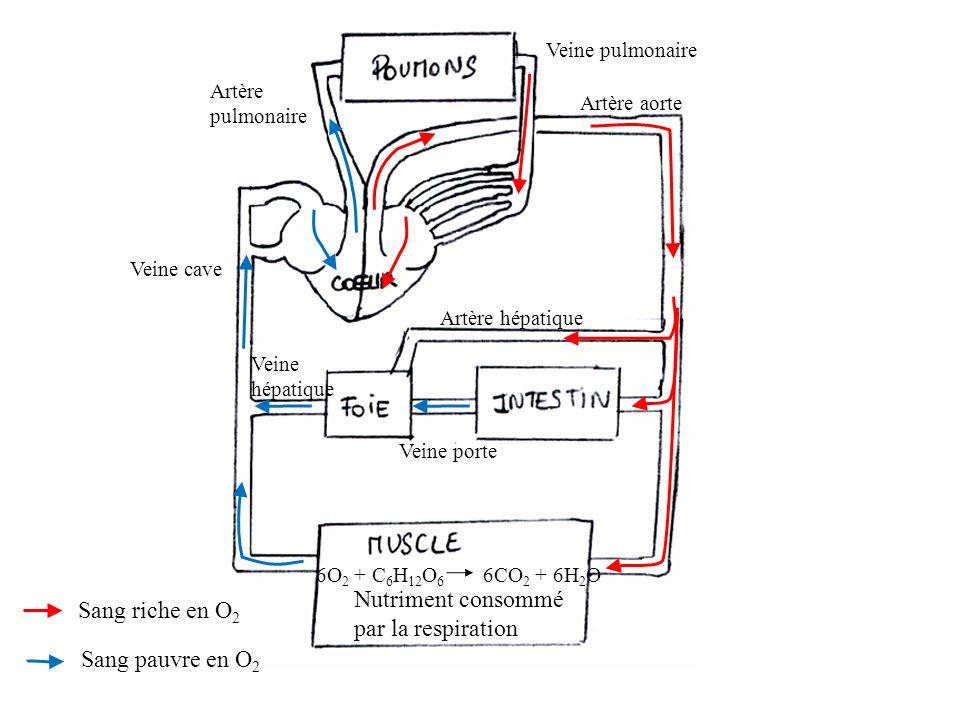Sang riche en O 2 Sang pauvre en O 2 Artère aorte Artère hépatique Veine porte Veine hépatique Veine cave Artère pulmonaire Veine pulmonaire 6O 2 + C