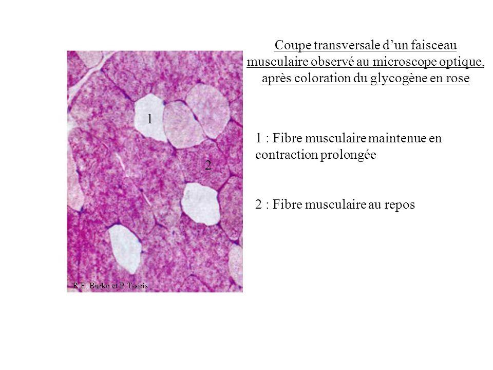 1 2 Coupe transversale dun faisceau musculaire observé au microscope optique, après coloration du glycogène en rose 1 : Fibre musculaire maintenue en