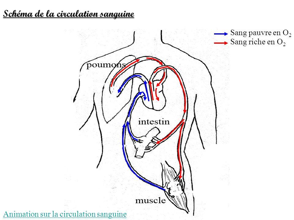 Sang pauvre en O 2 Sang riche en O 2 Schéma de la circulation sanguine Animation sur la circulation sanguine