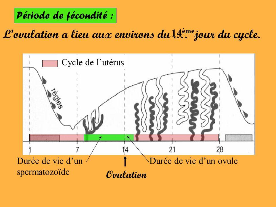 Période de fécondité : Lovulation a lieu aux environs du.… jour du cycle. 14 ème Cycle de lutérus Ovulation Durée de vie dun ovuleDurée de vie dun spe