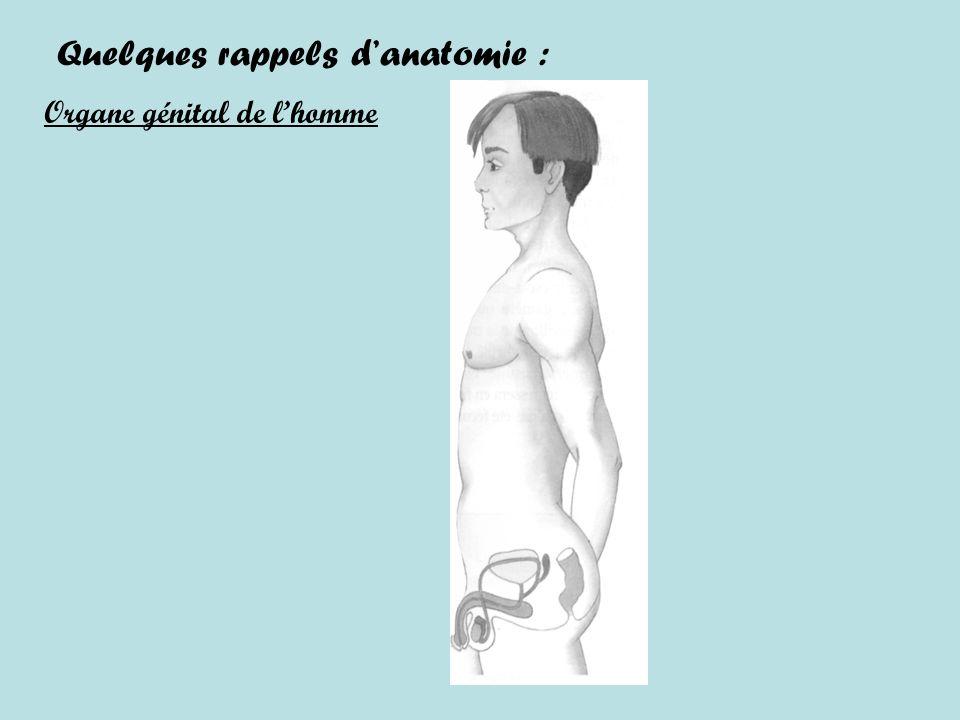 Quelques rappels danatomie : Organe génital de lhomme