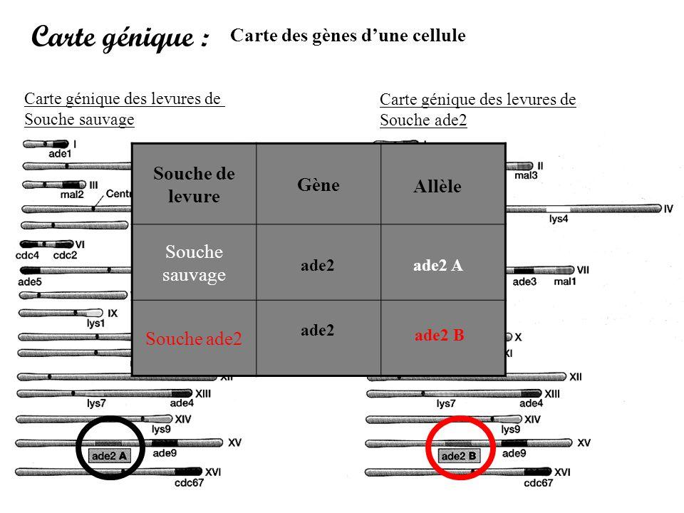 Carte génique : Carte des gènes dune cellule Carte génique des levures de Souche sauvage Carte génique des levures de Souche ade2 Souche de levure Gèn