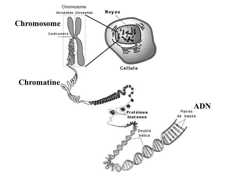 Schéma dun chromosome à deux chromatides Centromère Chromatides Filament de chromatine ADN Chromosome Chromatine
