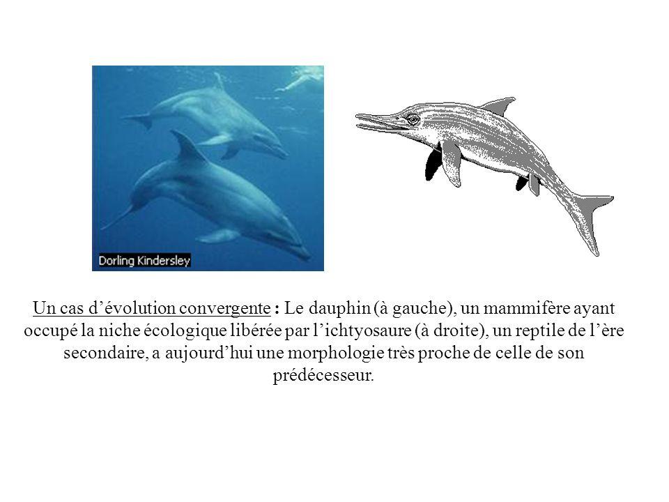 Un cas dévolution convergente : Le dauphin (à gauche), un mammifère ayant occupé la niche écologique libérée par lichtyosaure (à droite), un reptile d