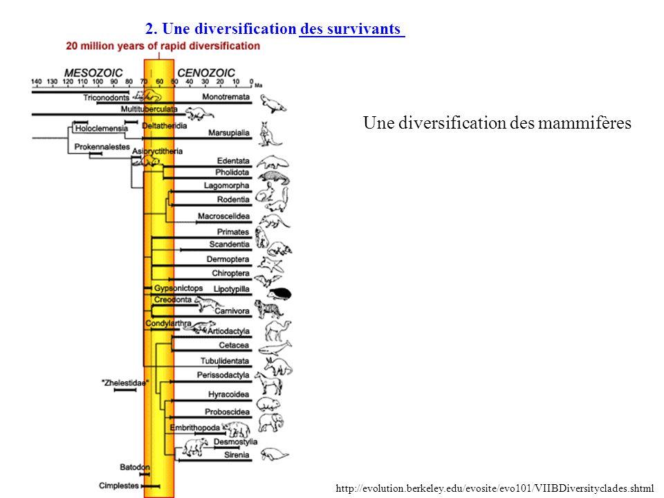 2. Une diversification des survivants http://evolution.berkeley.edu/evosite/evo101/VIIBDiversityclades.shtml Une diversification des mammifères