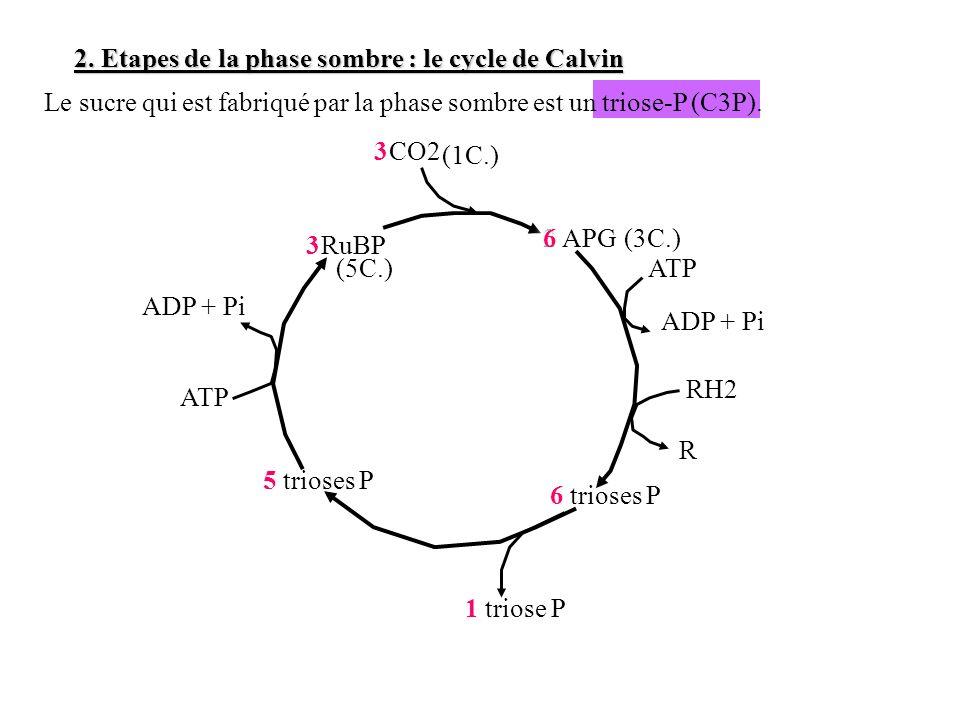 2. Etapes de la phase sombre : le cycle de Calvin Le sucre qui est fabriqué par la phase sombre est un triose-P (C3P). RuBP 2 APG CO2 6 trioses P ATP