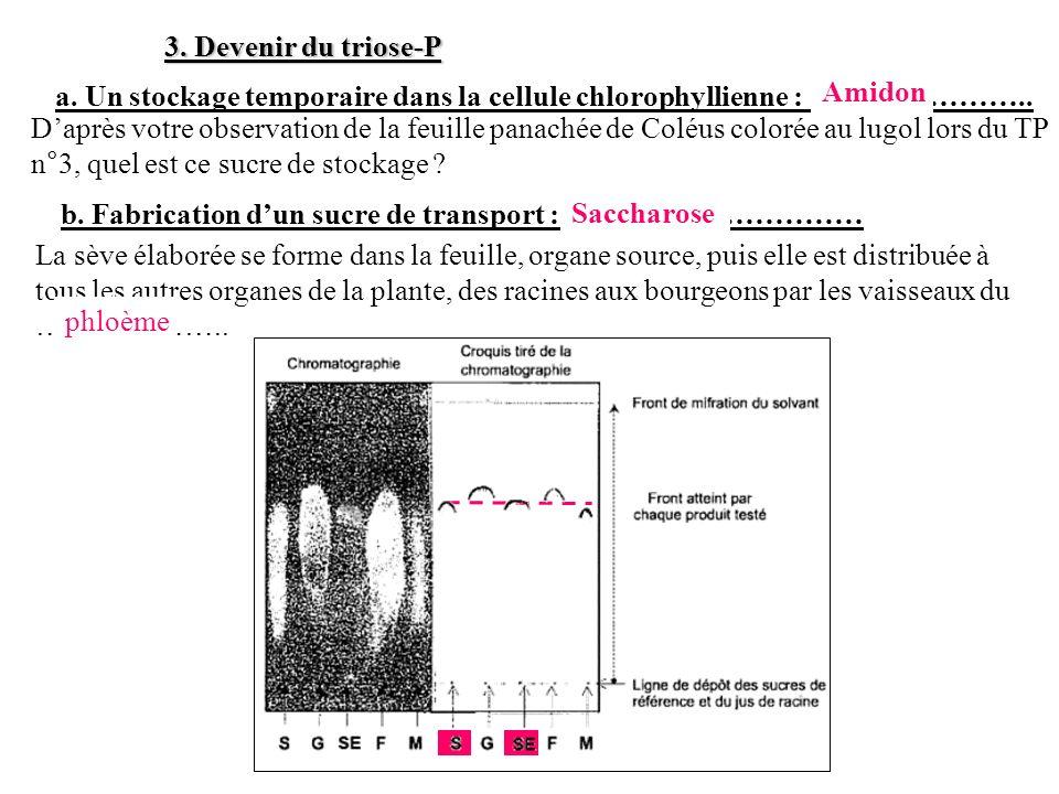 3. Devenir du triose-P a. Un stockage temporaire dans la cellule chlorophyllienne : ………………….. Daprès votre observation de la feuille panachée de Coléu