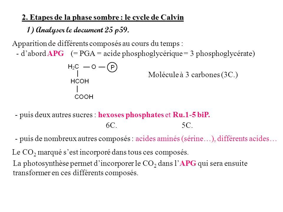 2. Etapes de la phase sombre : le cycle de Calvin 1) Analyser le document 25 p59. Apparition de différents composés au cours du temps : - dabord APG -