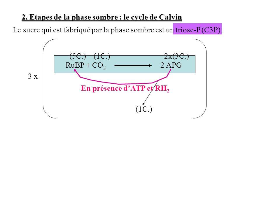 2. Etapes de la phase sombre : le cycle de Calvin RuBP + CO 2 2 APG En présence dATP et RH 2 Le sucre qui est fabriqué par la phase sombre est un trio