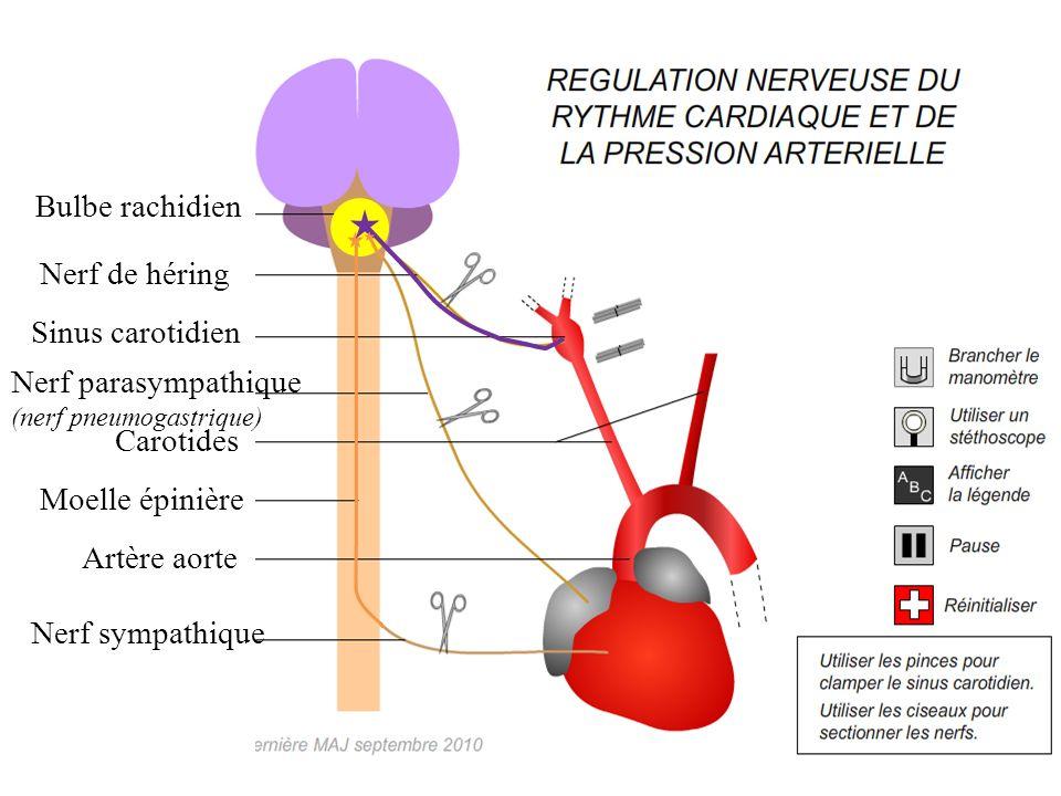 Bulbe rachidien Nerf de héring Sinus carotidien Nerf parasympathique (nerf pneumogastrique) Carotides Moelle épinière Artère aorte Nerf sympathique