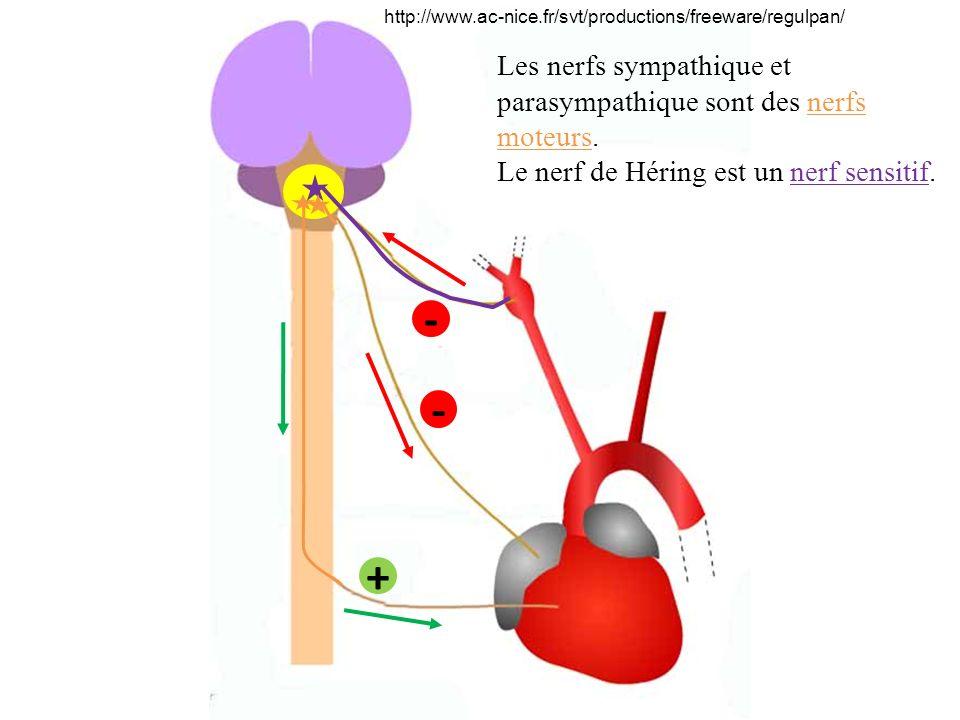 http://www.ac-nice.fr/svt/productions/freeware/regulpan/ - + - Les nerfs sympathique et parasympathique sont des nerfs moteurs. Le nerf de Héring est