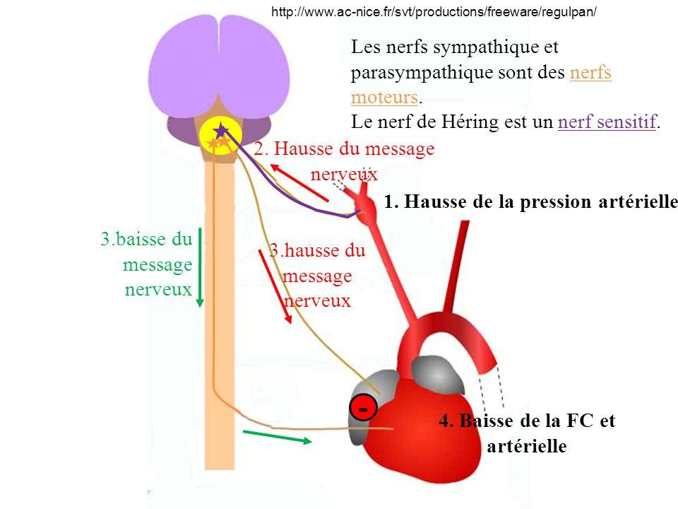 http://www.ac-nice.fr/svt/productions/freeware/regulpan/ Les nerfs sympathique et parasympathique sont des nerfs moteurs. Le nerf de Héring est un ner