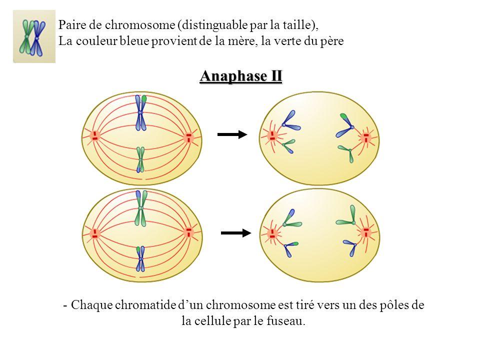Anaphase II Paire de chromosome (distinguable par la taille), La couleur bleue provient de la mère, la verte du père - Chaque chromatide dun chromosome est tiré vers un des pôles de la cellule par le fuseau.