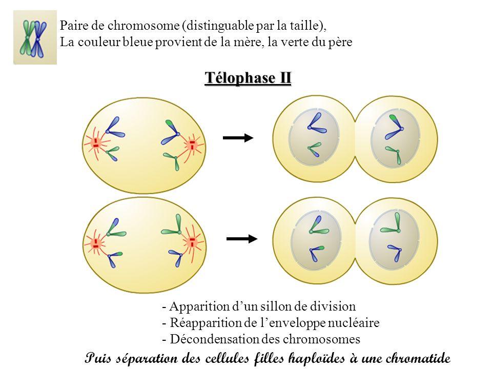 Télophase II Paire de chromosome (distinguable par la taille), La couleur bleue provient de la mère, la verte du père - Apparition dun sillon de division - Réapparition de lenveloppe nucléaire - Décondensation des chromosomes Puis séparation des cellules filles haploïdes à une chromatide