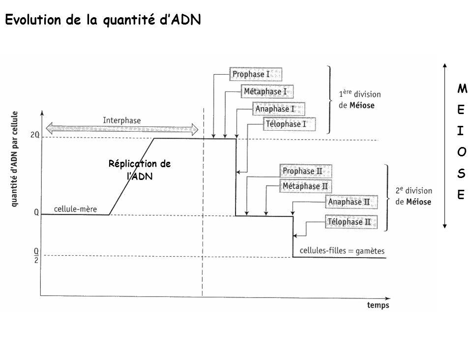 Evolution de la quantité dADN Réplication de lADN MEIOSEMEIOSE