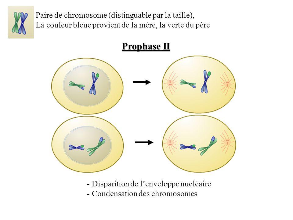 Prophase II - Disparition de lenveloppe nucléaire - Condensation des chromosomes Paire de chromosome (distinguable par la taille), La couleur bleue provient de la mère, la verte du père