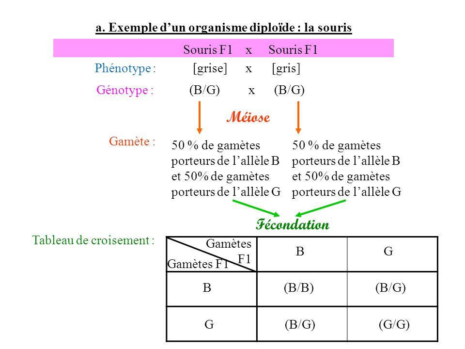a. Exemple dun organisme diploïde : la souris Gamète : 50 % de gamètes porteurs de lallèle B et 50% de gamètes porteurs de lallèle G Souris F1 x Souri