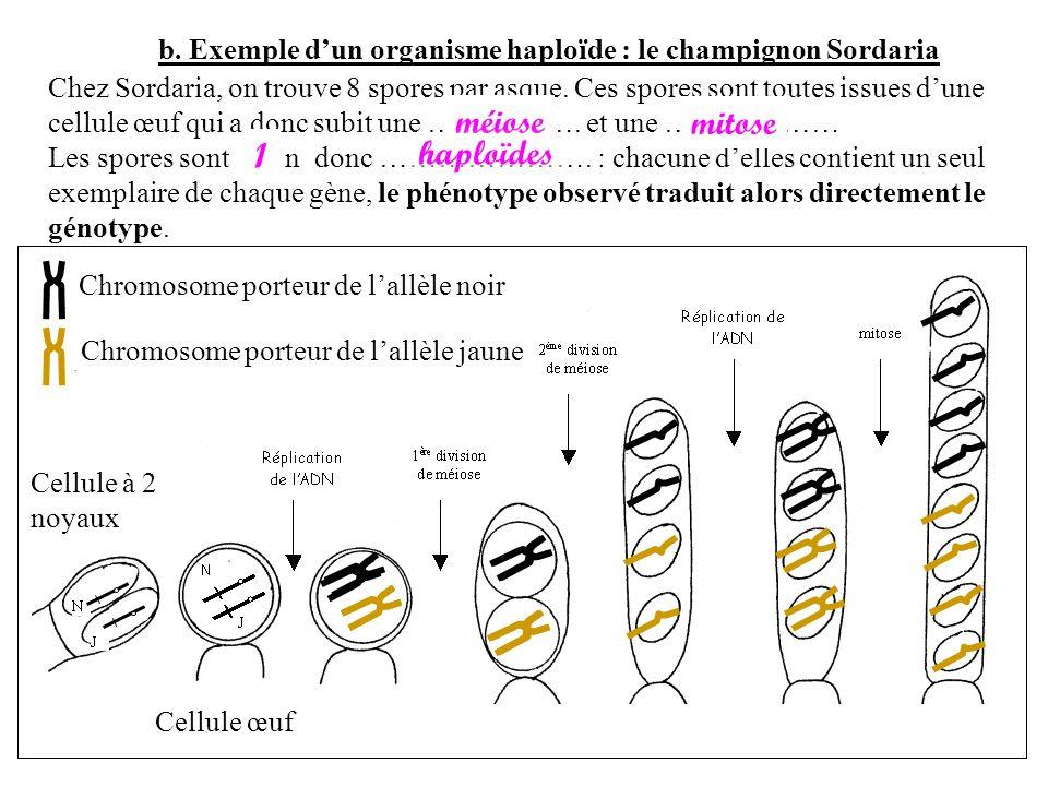 b. Exemple dun organisme haploïde : le champignon Sordaria Chez Sordaria, on trouve 8 spores par asque. Ces spores sont toutes issues dune cellule œuf