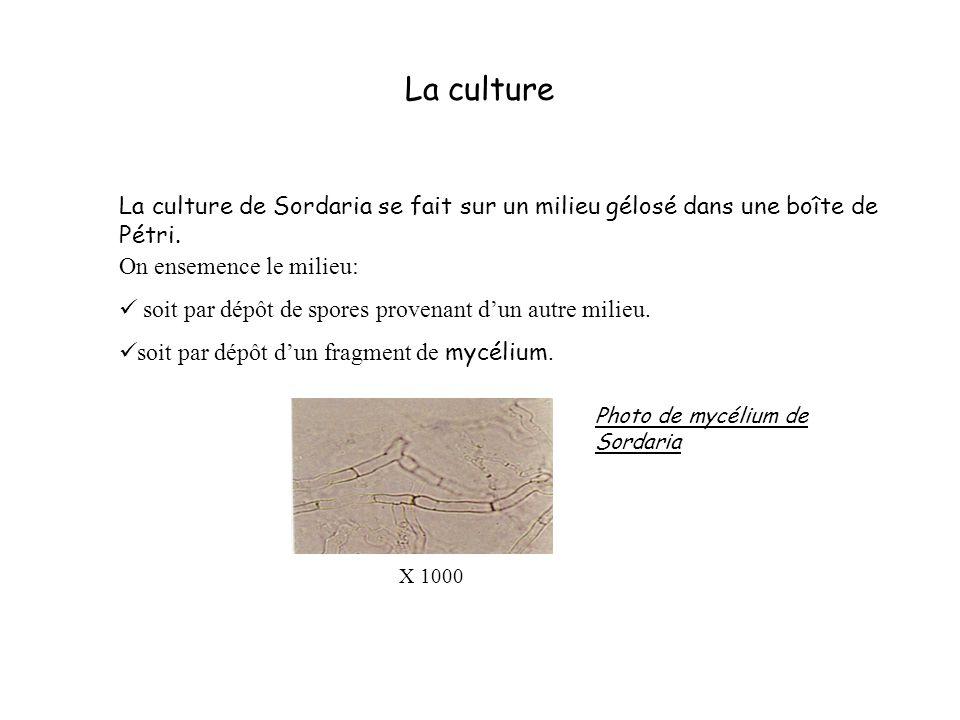 La culture La culture de Sordaria se fait sur un milieu gélosé dans une boîte de Pétri. On ensemence le milieu: soit par dépôt de spores provenant dun