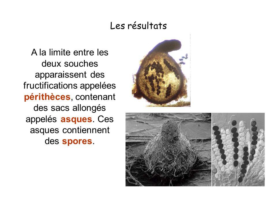 Les résultats A la limite entre les deux souches apparaissent des fructifications appelées périthèces, contenant des sacs allongés appelés asques. Ces