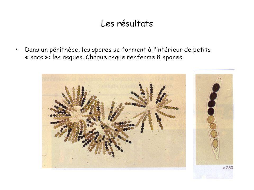 Les résultats Dans un périthèce, les spores se forment à lintérieur de petits « sacs »: les asques. Chaque asque renferme 8 spores.