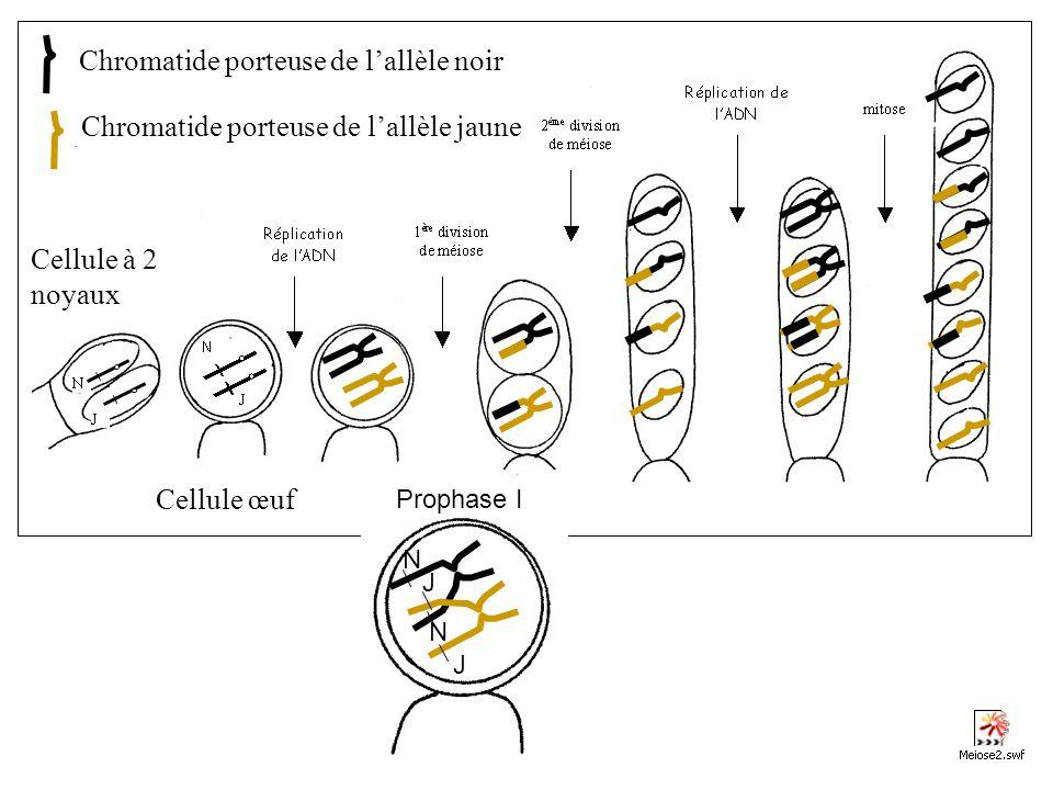 Cellule à 2 noyaux Cellule œuf Chromatide porteuse de lallèle noir Chromatide porteuse de lallèle jaune Prophase I N N J J