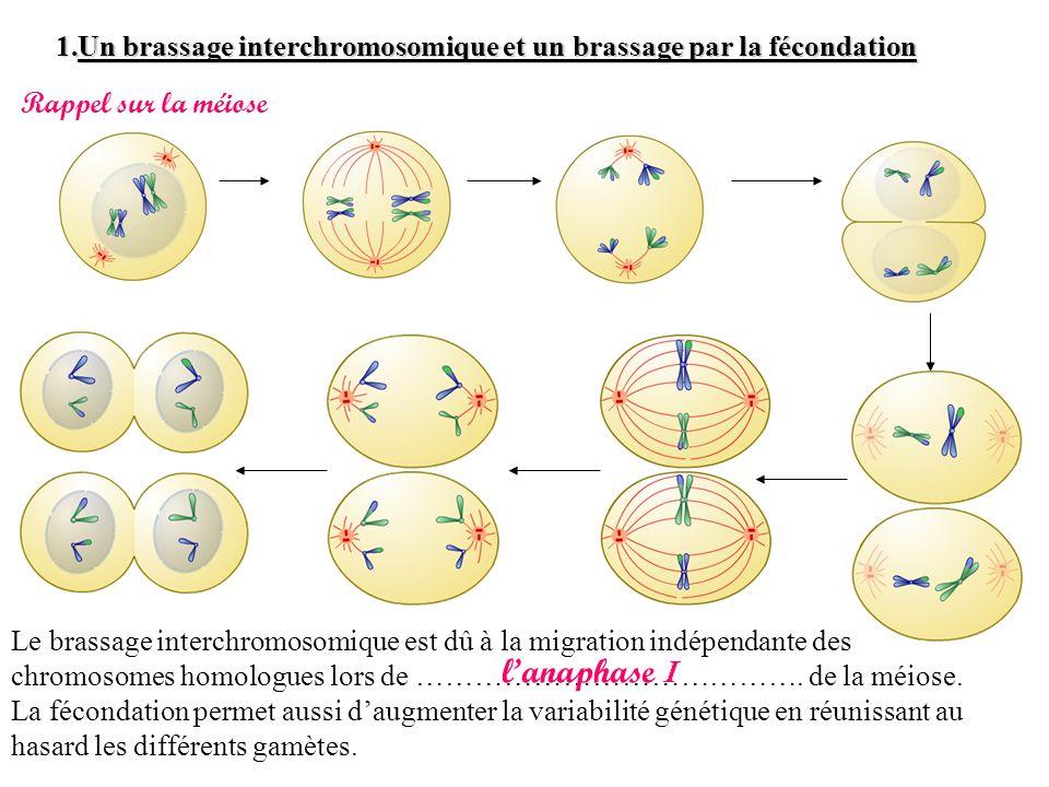 1.Un brassage interchromosomique et un brassage par la fécondation Le brassage interchromosomique est dû à la migration indépendante des chromosomes h