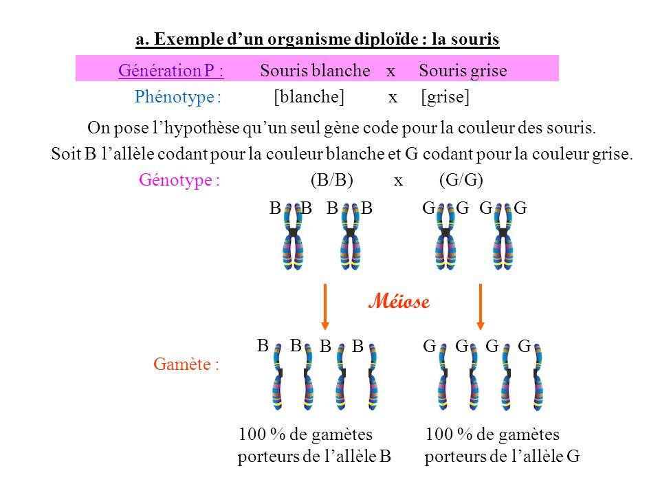 a. Exemple dun organisme diploïde : la souris Gamète : 100 % de gamètes porteurs de lallèle B Génération P : Souris blanche x Souris grise Phénotype :