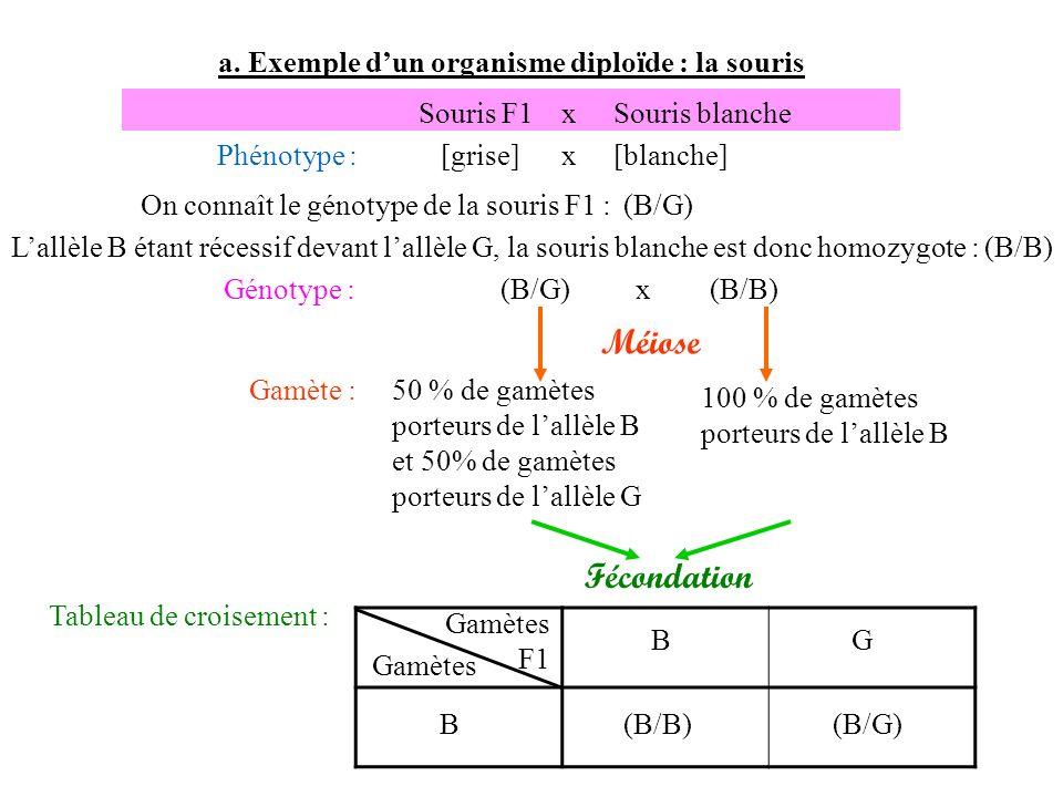 a. Exemple dun organisme diploïde : la souris Gamète :50 % de gamètes porteurs de lallèle B et 50% de gamètes porteurs de lallèle G Souris F1 x Souris
