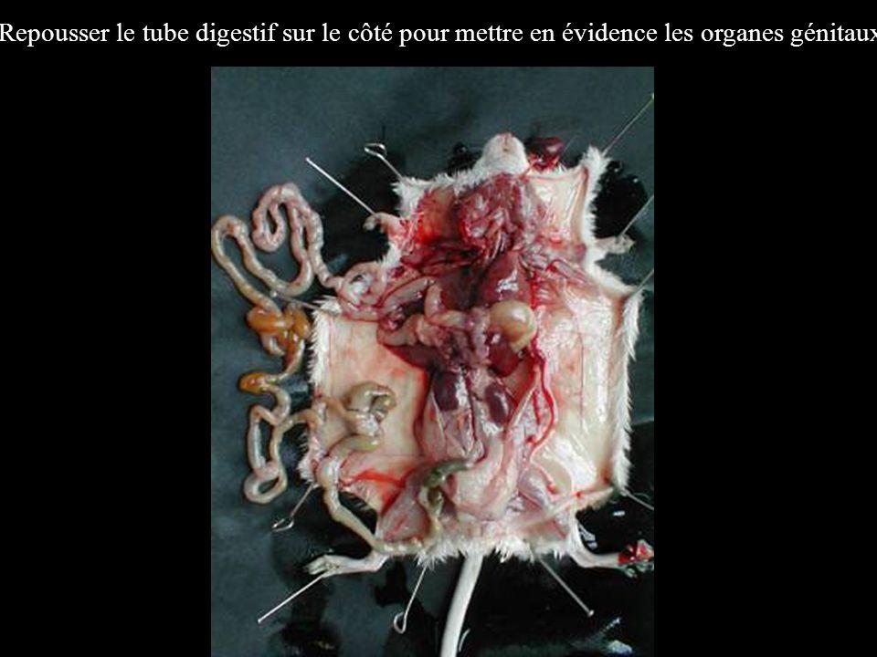 Repousser le tube digestif sur le côté pour mettre en évidence les organes génitaux.