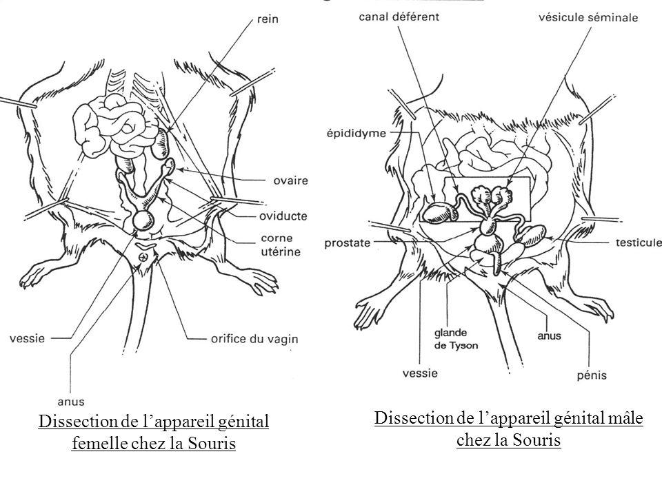 Dissection de lappareil génital mâle chez la Souris Dissection de lappareil génital femelle chez la Souris