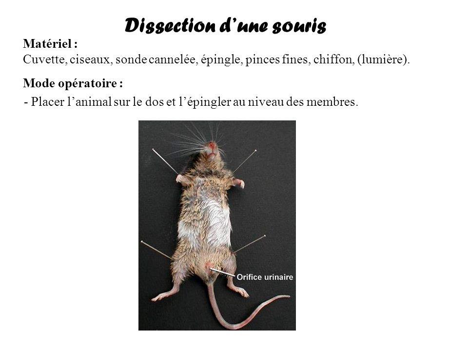 Dissection dune souris Matériel : Cuvette, ciseaux, sonde cannelée, épingle, pinces fines, chiffon, (lumière). Mode opératoire : - Placer lanimal sur