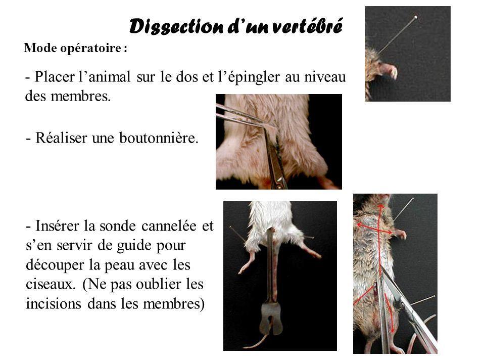 Dissection dun vertébré Mode opératoire : - Placer lanimal sur le dos et lépingler au niveau des membres. - Réaliser une boutonnière. - Insérer la son