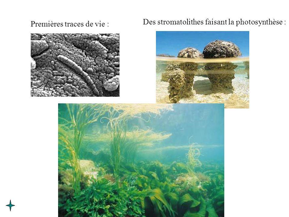 Premières traces de vie : Des stromatolithes faisant la photosynthèse :