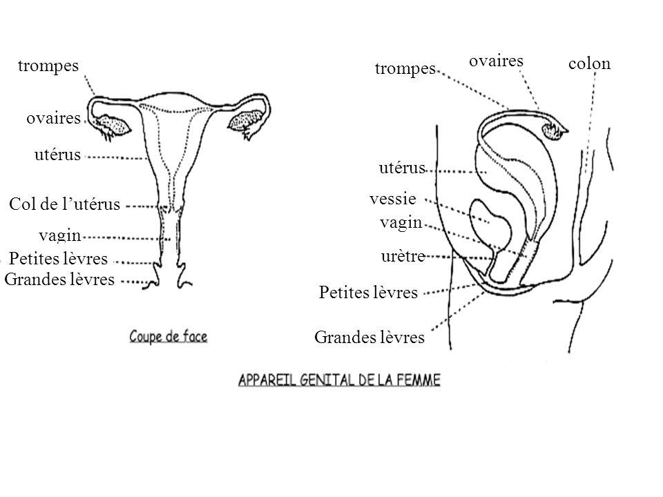 prostate Urètre pénis Gland prépuce vessie Vésicules séminales Colon Canal déférent Épididyme Testicule Bourse