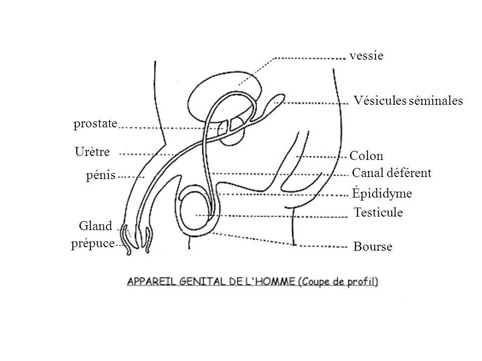 Quelques rappels danatomie : Organe génital de la femme Utérus Trompe Ovaire Vagin Pavillon Col de lutérus