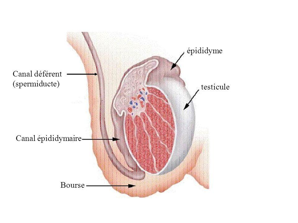 Coupe dun testicule Tube séminifère Spermatogonie (futur spermatozoïde) Cellules interstitielles (ou de Leydig)