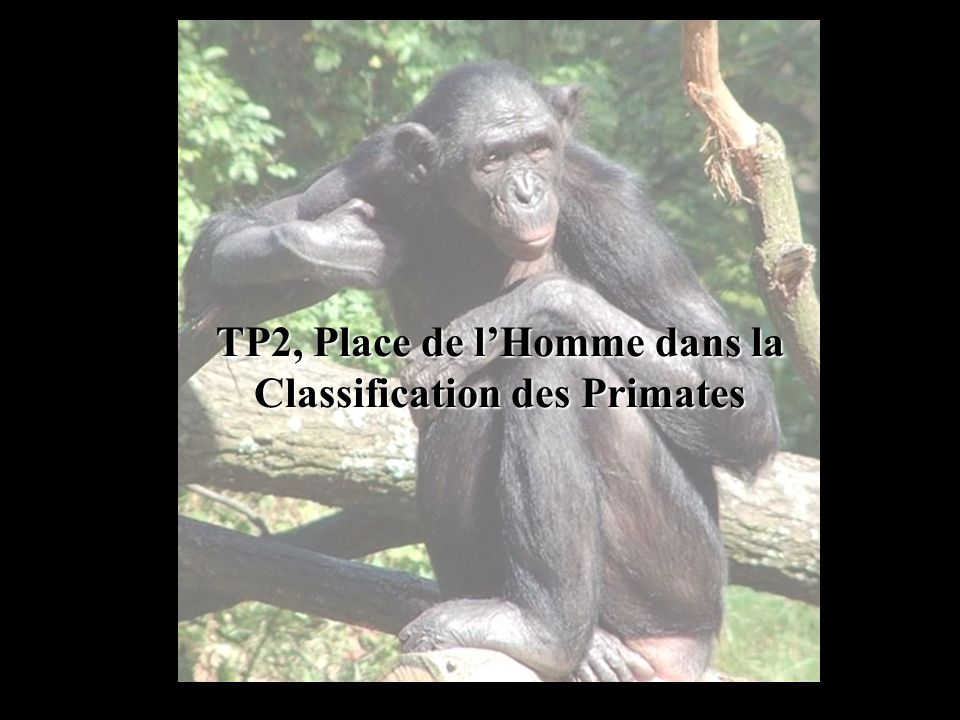 TP2, Place de lHomme dans la Classification des Primates