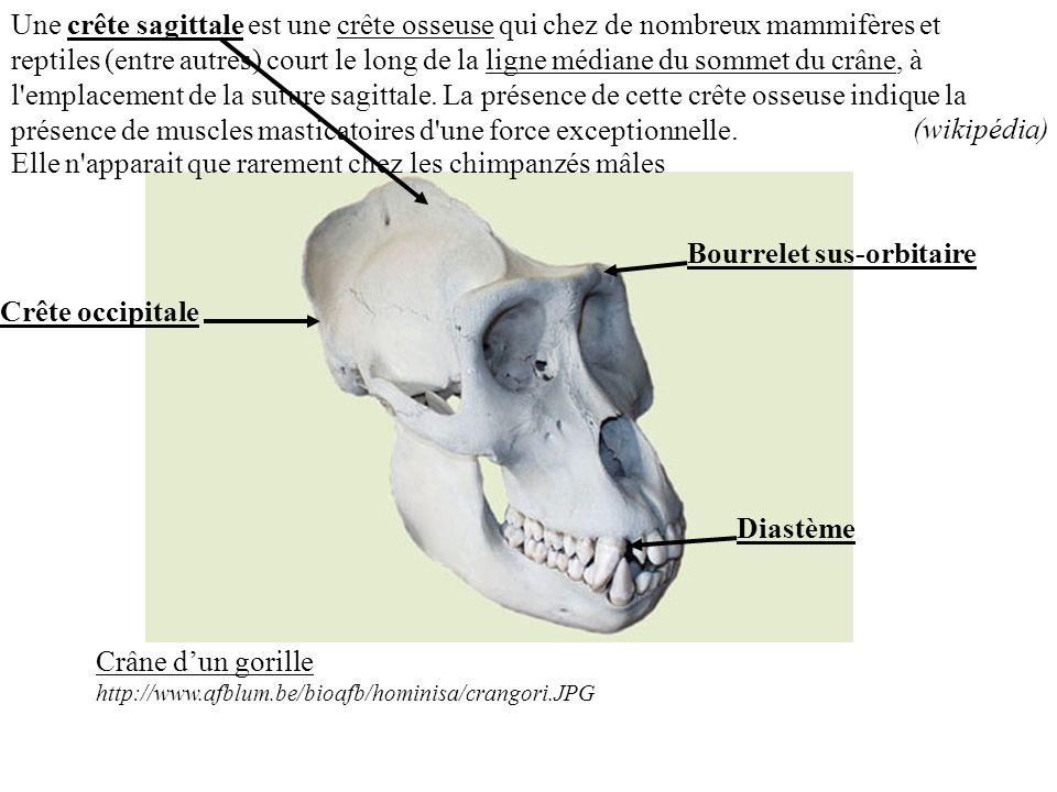 Une crête sagittale est une crête osseuse qui chez de nombreux mammifères et reptiles (entre autres) court le long de la ligne médiane du sommet du cr