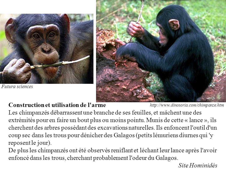 Construction et utilisation de l'arme Les chimpanzés débarrassent une branche de ses feuilles, et mâchent une des extrémités pour en faire un bout plu