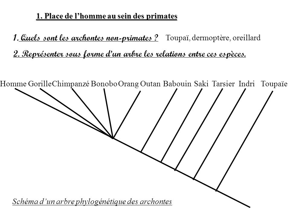 1. Place de lhomme au sein des primates 1. Quels sont les archontes non-primates ? Toupaï, dermoptère, oreillard 2. Représenter sous forme dun arbre l