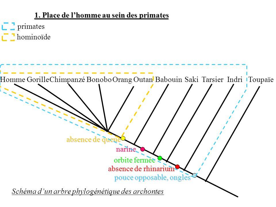 1. Place de lhomme au sein des primates HommeGorille Chimpanzé Bonobo BabouinIndriOrang OutanSakiTarsierToupaïe Schéma dun arbre phylogénétique des ar