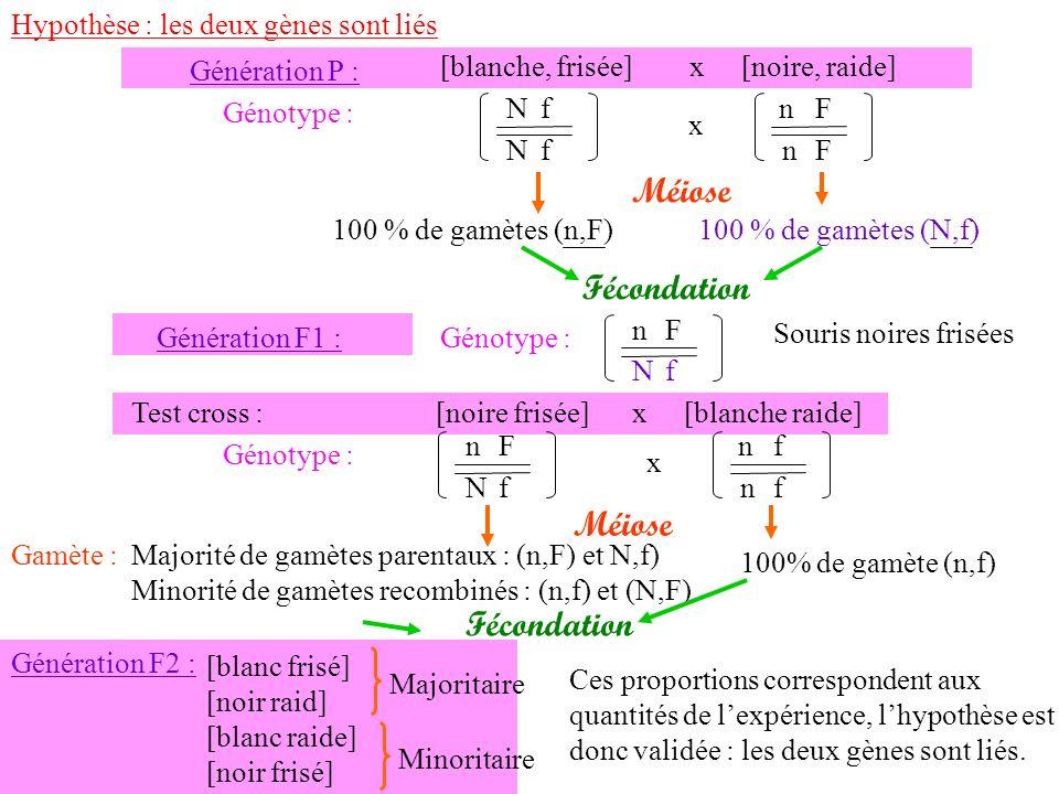 100 % de gamètes (n,F)100 % de gamètes (N,f) Fécondation Génération F1 : Souris noires frisées Génotype : n N F f N N f f Génération P : [blanche, fri